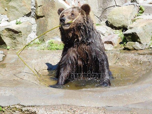 Калининградский зоопарк, бурый медведь