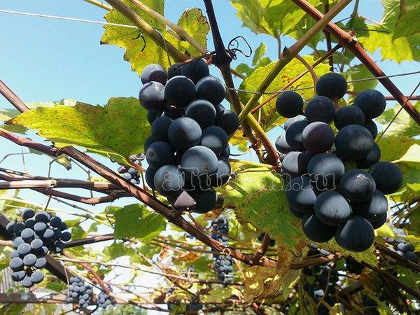 Архадерессе виноградный рай