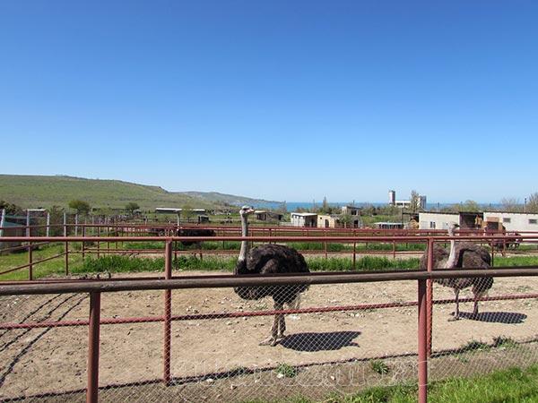 Страусиная ферма «Экзотик» фото